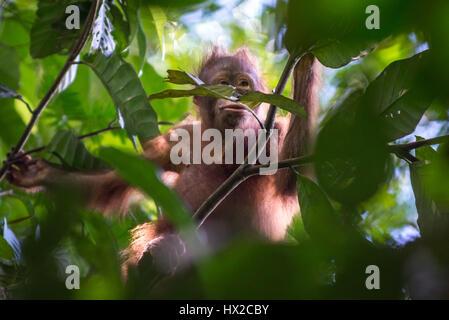 Bébé orang-outan à la recherche d'aliments. Banque D'Images