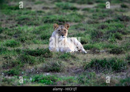 Une lionne est assis sur l'herbe, lors d'un safari, dans une réserve privée en Afrique du Sud le 18 mars 2017. © John Voos
