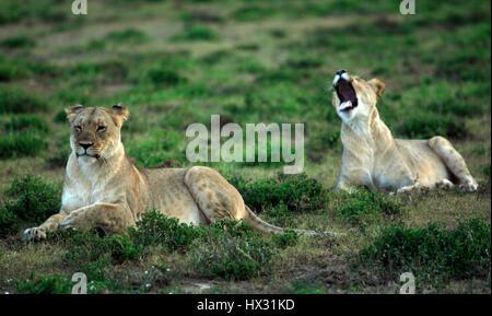 Une lionne bâille comme un autre lionne est assis sur l'herbe lors d'un safari, sur une réserve privée en Afrique du Sud le 18 mars 2017. © John Voos