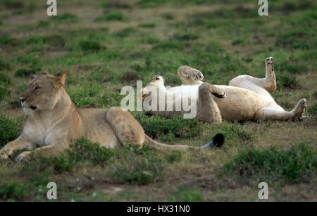 Une lionne roule sur son dos comme une autre lionne est assis sur l'herbe lors d'un safari dans une réserve privée en Afrique du Sud le 18 mars 2017. © John Voos