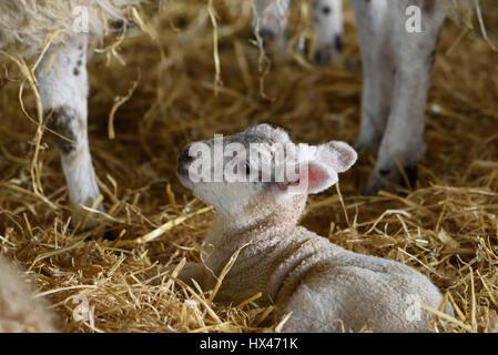 L'écaillage, Preston, Lancashire, Royaume-Uni. Le 24 mars 2017. Un agneau a choisi un bon jour pour arriver à la Banque D'Images