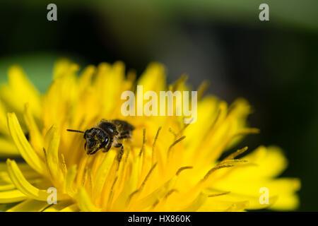 Abeille à miel la collecte du pollen d'une fleur de pissenlit vives sur une chaude journée de printemps ensoleillée Banque D'Images