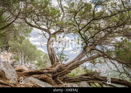 Un vieil arbre sur la pente de la montagne Banque D'Images