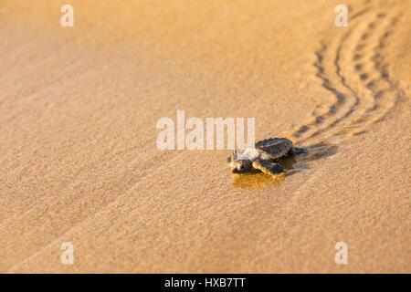 Bébé tortue caouanne (Caretta caretta) faire son voyage vers la mer. Mon Repos Conservation Park, Bundaberg, Queensland, Banque D'Images