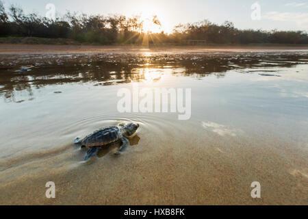 Bébé tortue caouanne (Caretta caretta) faire son voyage vers la mer au coucher du soleil. Mon Repos Conservation Banque D'Images