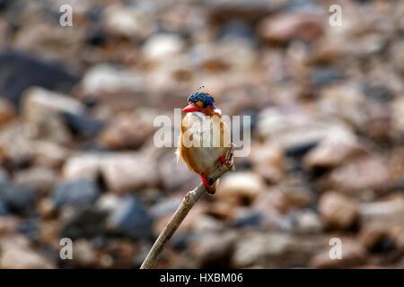 Martin-pêcheur huppé (Alcedo cristata) perché sur branch, Kruger National Park, Afrique du Sud Banque D'Images