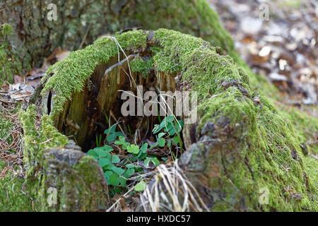 Souche d'arbre couverts de mousse et d'herbe qui grandit en Banque D'Images