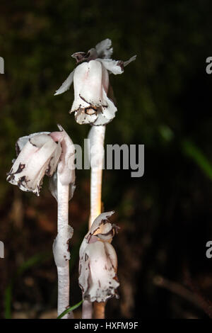 Indian pipe ghost plant growing in forest
