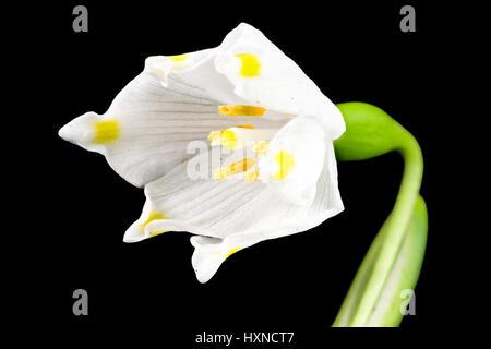 Macro d'une fleur de printemps Leucojum vernum (flocon) isolés sur noir
