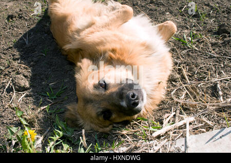 Brown chien domestique est de jouer sur le terrain Banque D'Images