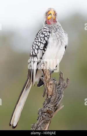 Calao à bec jaune (Tockus leucomelas) perché sur dead tree stump, looking at camera, Kruger National Park, Afrique Banque D'Images