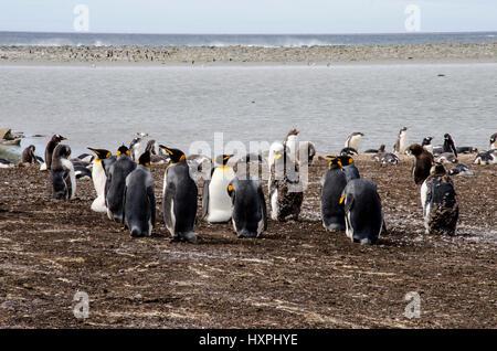 Manchot royal Aptenodytes patagonicus - - colonie de manchots royaux dans la région de Iles Falkland
