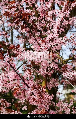 Cherry Plum Tree (Prunus cerasifera nigra), la floraison des fleurs rose Banque D'Images
