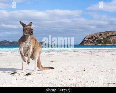 Kangaroo sur plage à Lucky Bay, Cape Le Grand National Park, Australie occidentale Banque D'Images