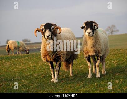 Swaledale ram ou tup avec de grandes cornes bouclés sur ferme en Cumbria avec aux côtés de brebis et les champs Banque D'Images