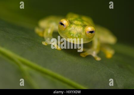 Grenouille de verre réticulé (Hyalinobatrachium valerioi) Péninsule d'Osa, au Costa Rica. Banque D'Images
