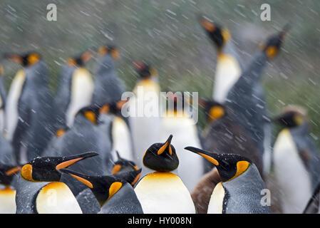 Le manchot royal (Aptenodytes patagonicus) de blizzard. Holmsbu, la Géorgie du Sud. Janvier.