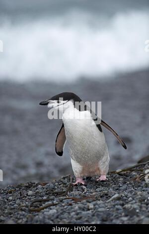 Manchot à Jugulaire (Pygoscelis antarcticus) standing on beach. Holmsbu, la Géorgie du Sud. Janvier.