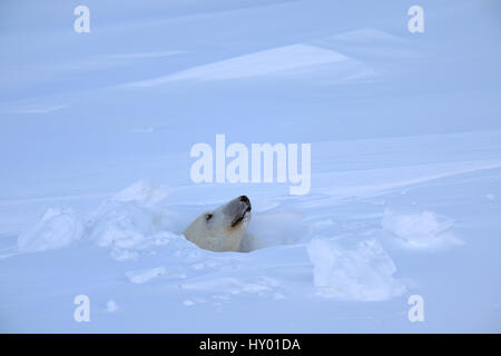 L'ours polaire (Ursus maritimus) femmes peeking out de den entrée. Le parc national Wapusk, Churchill, Manitoba, Canada. Mars.