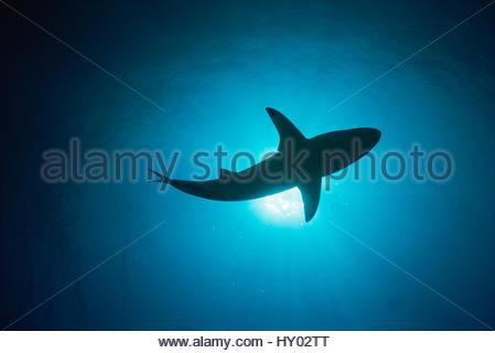 Blacktip shark (Carcharhinus limbatus) qui se profile. Bahamas. Banque D'Images