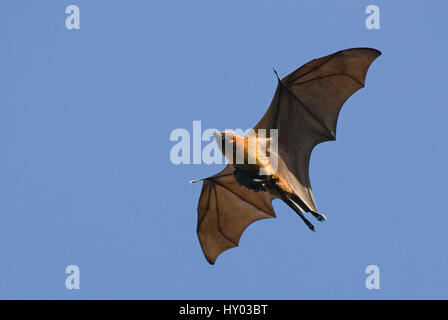 Madagascar bat fruits / flying fox (Pteropus rufus) réserve de Berenty, Madagascar, Afrique. Banque D'Images