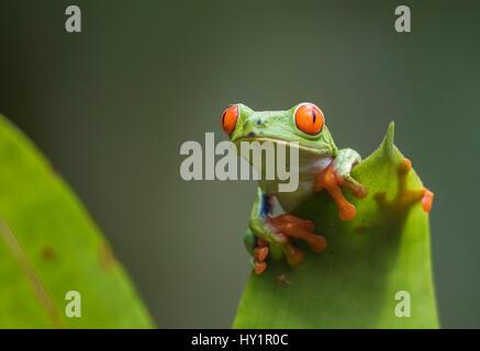 Red-eyed tree frog, agalychnis callidryas, escalade sur une feuille, à la recherche à la caméra, Laguna del Lagarto, Banque D'Images