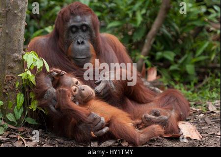 Orang-outan (Pongo pygmaeus) wurmbii la mère et le bébé, parc national de Tanjung Puting, Bornéo, le centre du Kalimantan, Banque D'Images