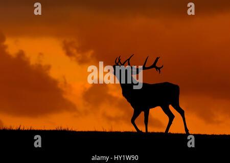 Red Deer (Cervus elaphus) stag appelant, au Pays de Galles, Royaume-Uni. Septembre. Prises à Deer Park Banque D'Images