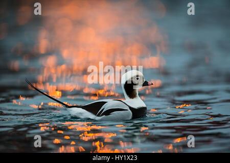 Le Harelde kakawi (Clangula hyemalis) mâle en hiver. Batsfjord, le Finnmark. La Norvège. Banque D'Images