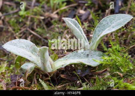 Berg-Flockenblume Bergflockenblume, Blatt, Blattrosette, Blätter, centaurea montana, vivace, bleuet, mountain bleuet, Banque D'Images