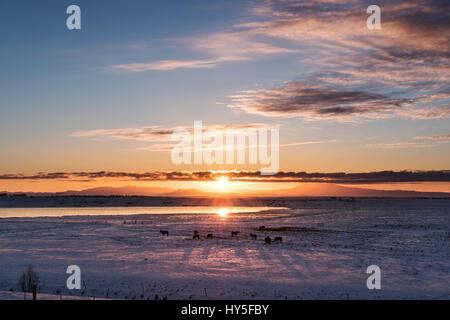 Sunrise aménagé avec silhouette cheval à l'hiver en campagne, le sud de l'Islande Banque D'Images