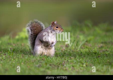 L'écureuil gris Sciurus carolinensis, adulte seul, debout sur l'herbe. Regent's Park, London, UK. Banque D'Images