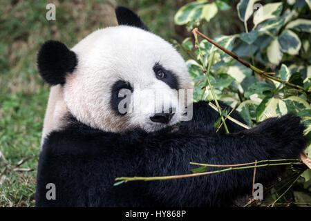 Panda géant (Ailuropoda melanoleuca), Panda, Macau, Macao Pavillon du panda Banque D'Images