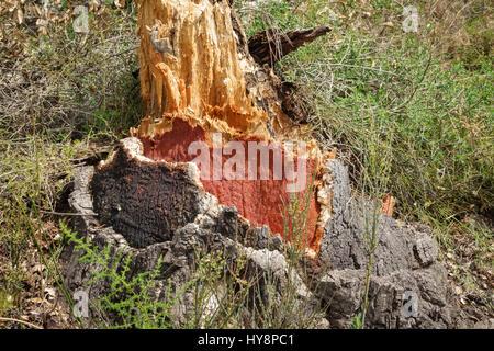 Tronc d'arbre dépouillé Cork Banque D'Images