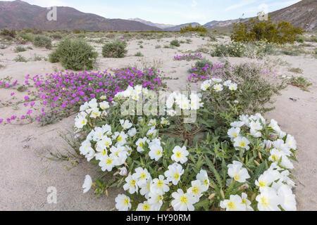 Primrose dune de sable du désert & Verveine - Anza Borrego SP - Californie Banque D'Images