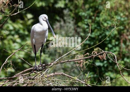 La spatule blanche spatule blanche ou conjoint (Platalea leucorodia) est un oiseau échassier de la famille des Threskiornithidae Banque D'Images