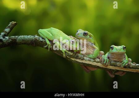 Bornéo, INDONÉSIE: Trois grenouilles fou regarder comme ils sont en concurrence pour effectuer tirer-se lève sur Banque D'Images