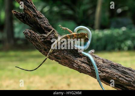 Un caméléon forest dragon mène sur une vipère serpent. Des images dramatiques d'un caméléon forest dragon se défend Banque D'Images