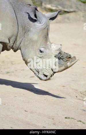 Sur une tête de rhinocéros rock fond dans un parc animalier en France Banque D'Images