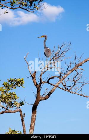Héron perché dans l'arbre. Longboat Key, en Floride. Banque D'Images