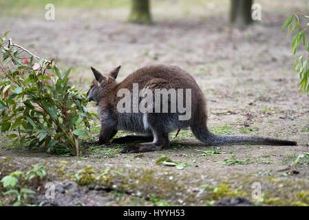 Kangourou arboricole australienne mange de l'herbe Banque D'Images