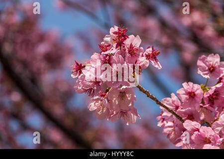 Jolie en rose - Fleurs de cerisier à Tokyo