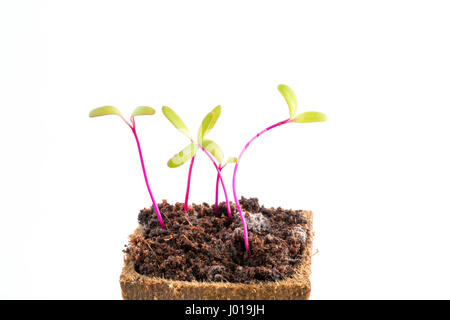 Les jeunes plants de betterave fraîche ou en pot de tourbe de betterave rouge sur fond blanc Banque D'Images