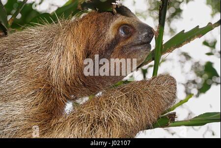 Trois doigts à gorge brune sloth profil de tête, animal sauvage dans la jungle, le Costa Rica, Amérique Centrale Banque D'Images