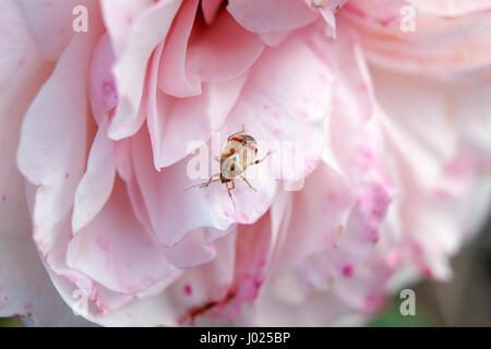 Petit bug colorés sur une rose rose. Scène de jardin close up insecte qui repose sur une rose rose. Arrière-plan flou avec l'accent sur un animal.