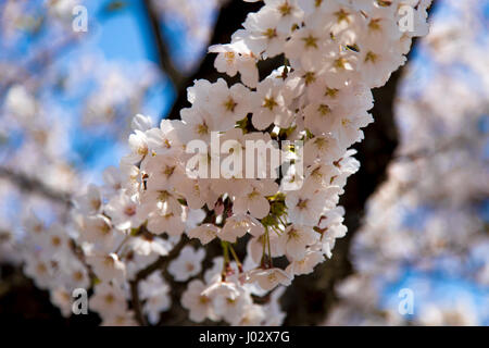 Close up of Japanese Sakura. Le Japon cherry blossom tree. Banque D'Images