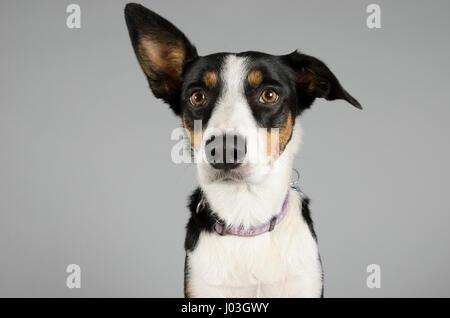 Portrait d'un chien de compagnie Border Collie au Royaume-Uni. Banque D'Images