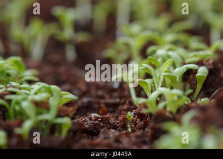 Camomille verte de plus en plus de graines germées Banque D'Images