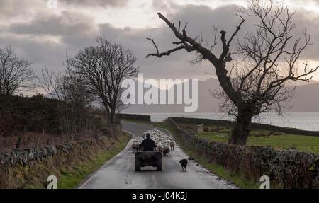 Sur un da d'hiver, un agriculteur sur un quadbike avec un Colley berger moutons troupeaux le long d'une route de Banque D'Images