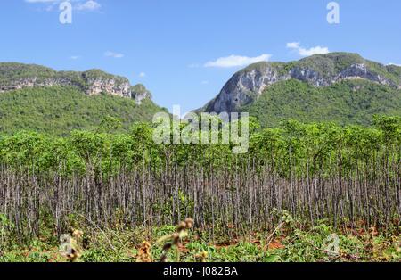 Les yuccas se développent sur près de Vinales à Cuba et les racines sont utilisées comme légumes dans le régime Banque D'Images